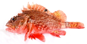 "Scorpaena_papillosa_(Schneider_&_Forster,_1801)_Red_Rockcod,_or_red_scorpionfish,_""Grandaddy"""